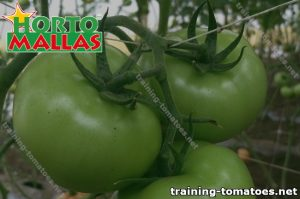 Plant with green tomatoes