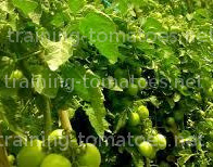 tomatoes netting